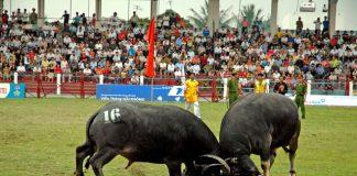 Đặc sắc lễ hội chọi trâu Đồ Sơn của người dân vạn chài ở Đồ Sơn